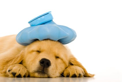 Prehlad psa