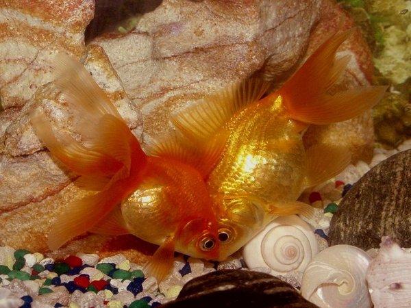 Zlati ribici v akvariju