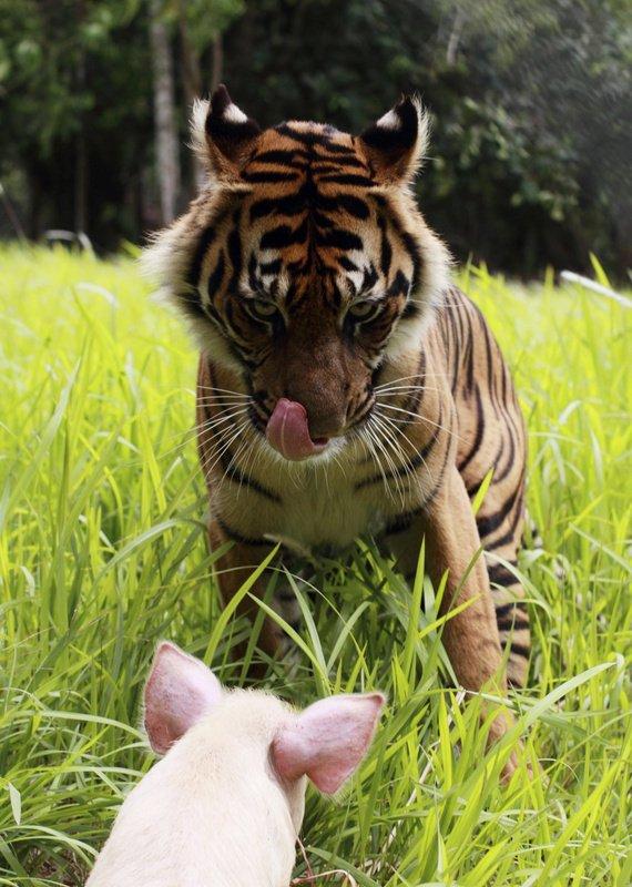 Tiger in prašiček - 1
