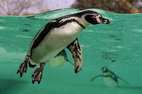 pingvin humboldt
