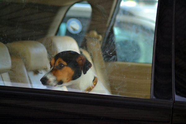 Pes v avtomobilu