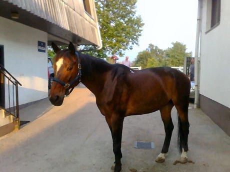 Policijski konj naprodaj