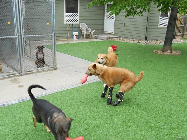 Pes s protezo - 1