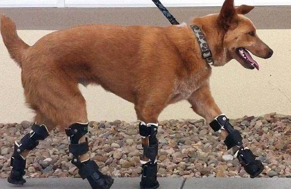 Pes s protezo - 2