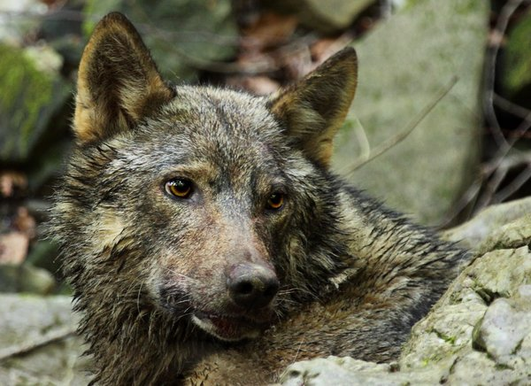 Volkulja Tonka - 1