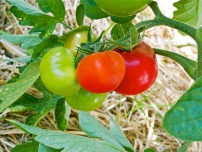Paradižnik na vrtu