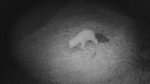 Polarni medvedek - 1