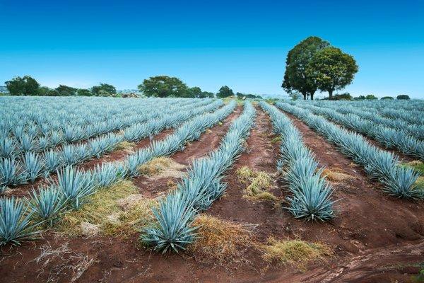 plantaža agave