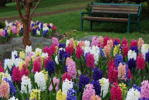 Vrt spomladanskih hijacint