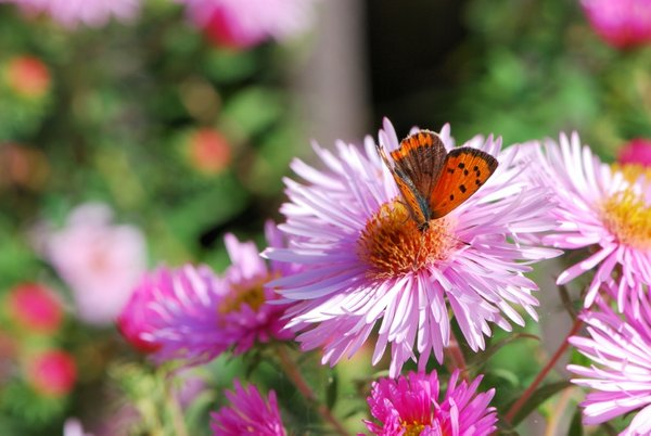 metulj na astri