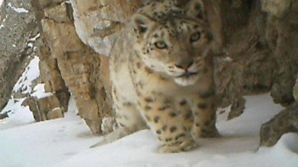 Snežni leopard - 2