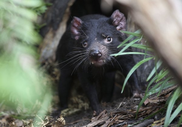 Tasmanski vrag