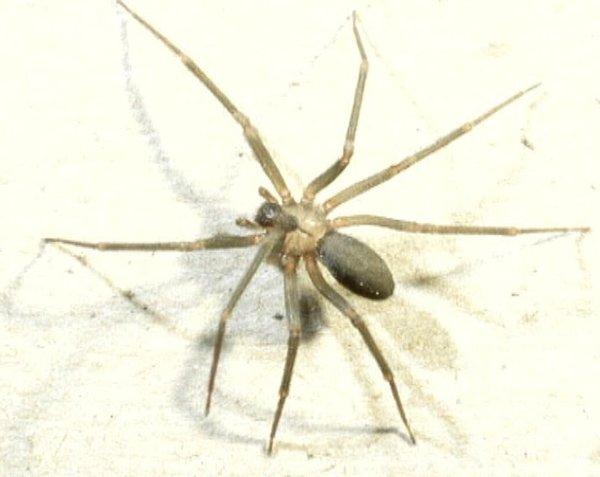 Strupeni pajek