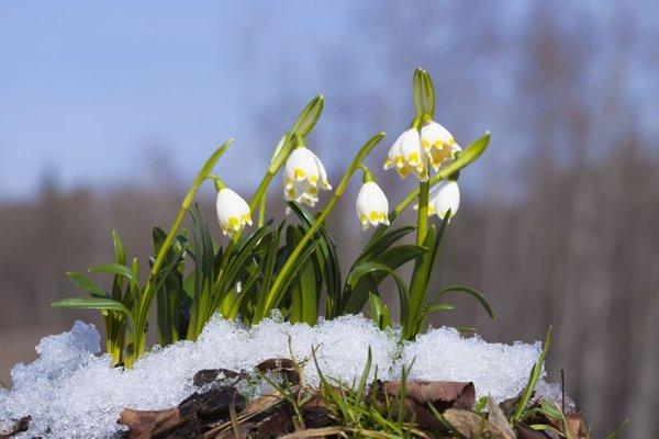 Cvetje v pomladnem snegu