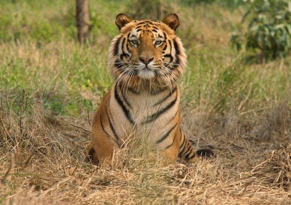 Bengalski tiger