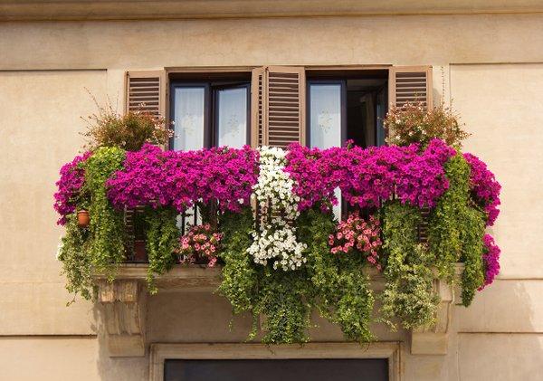 zasaditev rož na balkonu