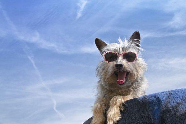 Pes s sončnimi očali
