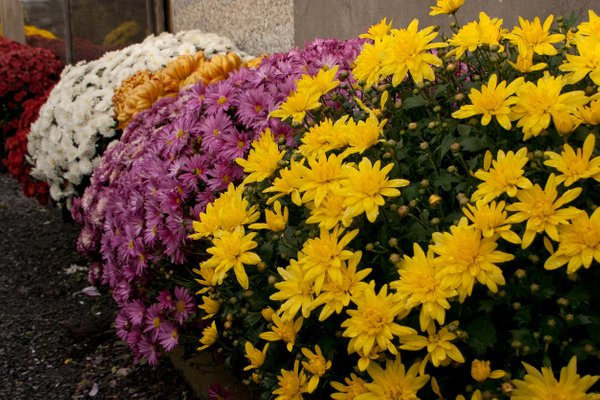 jesenske zasaditve rož na grobovih - 7