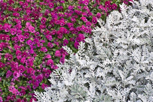 jesenske zasaditve rož na grobovih - 2