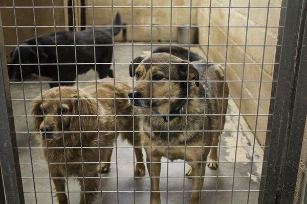 Psi v pesjaku