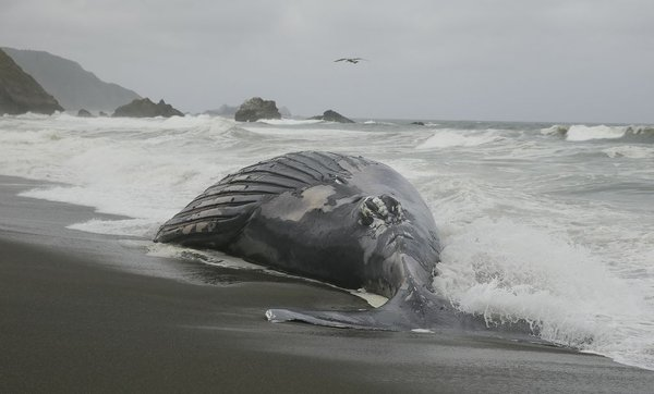 Nasedel kit glavač