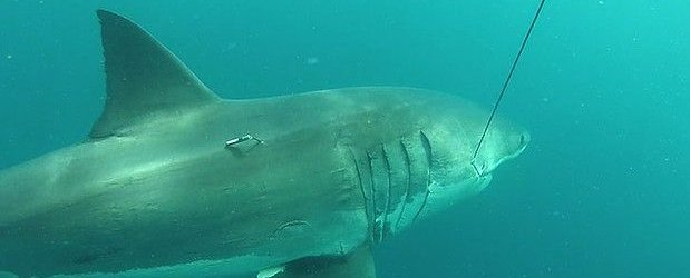 Samica belega morskega psa