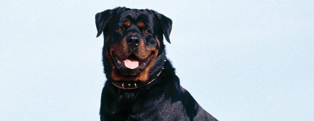 Najmočnejše in inteligentne pasme psov - 11