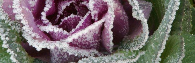 Zamrznjena glava zelja