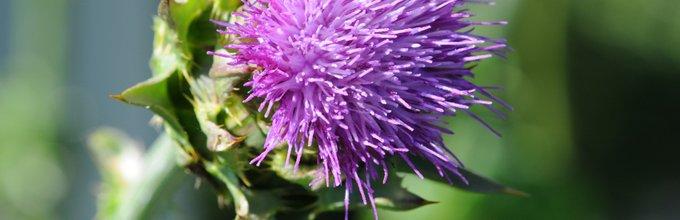 Aritčokin cvet