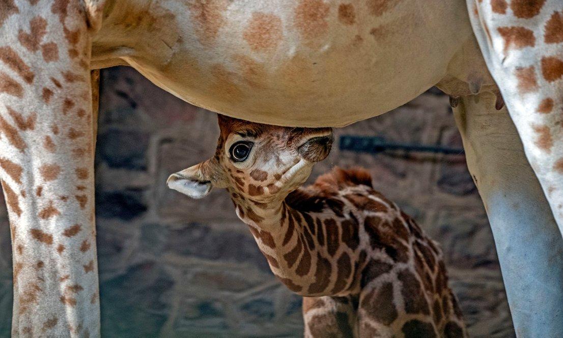 Skotil se je mladiček žirafe