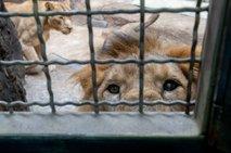 Konec tedna v ljubljanskem živalskem vrtu posvečen levom