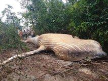 V brazilski džungli našli truplo kita grbavca