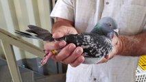 Zmagovita slovenska golobica prodana za rekordnih slabih 109.000 evrov