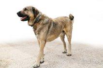 Bo veterinarska inšpekcija lastniku odvzela agresivne pse?