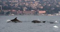 Prava paša za oči: velika jata delfinov v Piranu