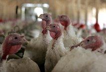 Zaradi suma ptičje gripe odpoklic puranjega mesa z Madžarske