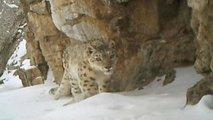 Snežni leopard - 3