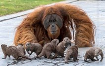 V belgijskem živalskem vrtu so se spoprijateljili orangutani in vidre