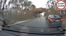 Poljskega voznika na cesti presenetila čreda jelenov