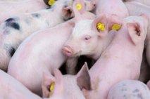 Svinjsko meso bo dražje. Zakaj?