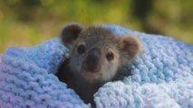 V avstralskem parku plazilcev se je skotila majhna koala Elsa