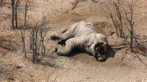 Rešena skrivnost množičnega pogina slonov v Bocvani