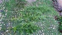 V hišni preiskavi zasegli pol kilograma konoplje in tri rastline