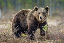 Neznanec ustrelil medveda in ga pustil ležati kar tam
