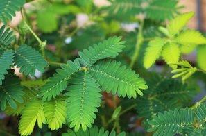 Hoteli jo boste imeti doma – Mimosa pudica ali sramežljiva rastlina