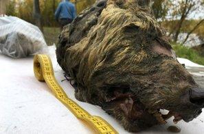 V Sibiriji našli predmet neprecenljive vrednosti