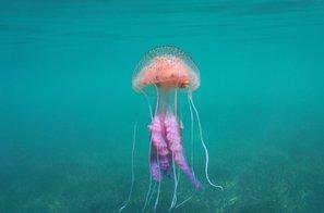 Pozor! V bližini Kamenjaka opazili nevarno meduzo