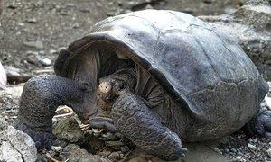 Našli želvo, ki naj bi izumrla pred 100 leti