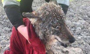 V Estoniji iz ledene reke rešili volka, misleč, da rešujejo psa