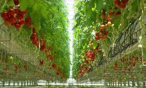 Virus rjave grbančavosti priljubljenemu paradižniku napoveduje črno usodo
